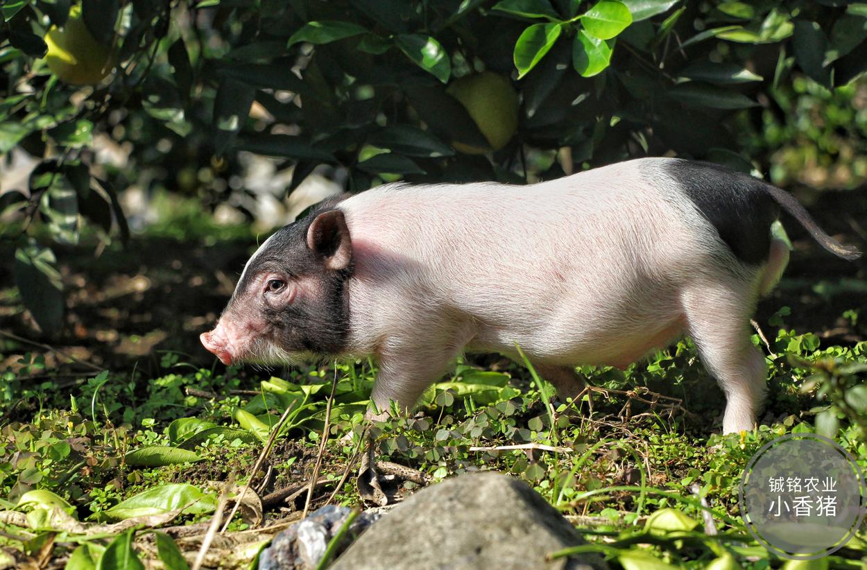 重庆乡阿姨巴马香猪养殖小香猪种猪